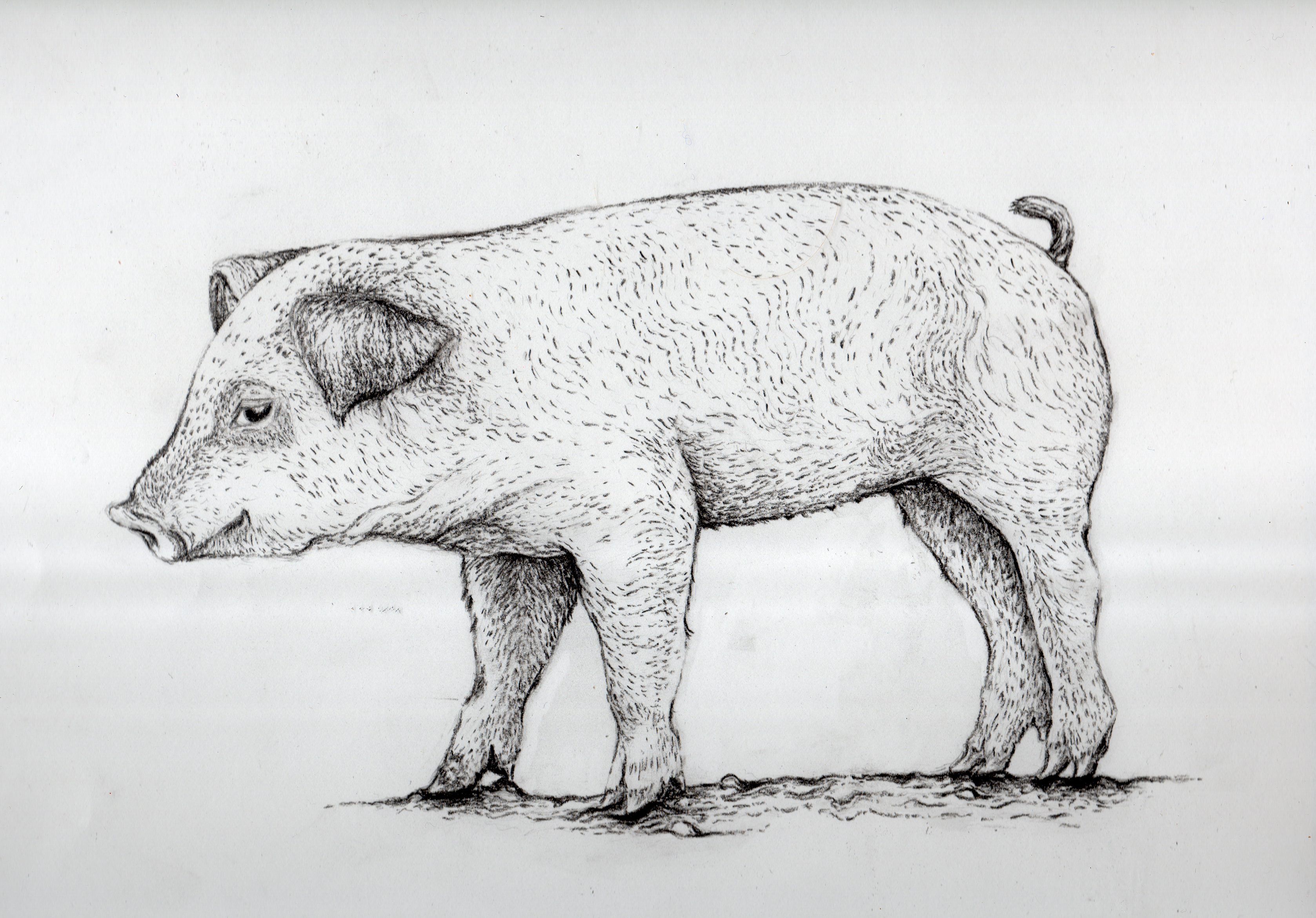 Wilbur new drawing for pillow fabric print charcoal pencil for